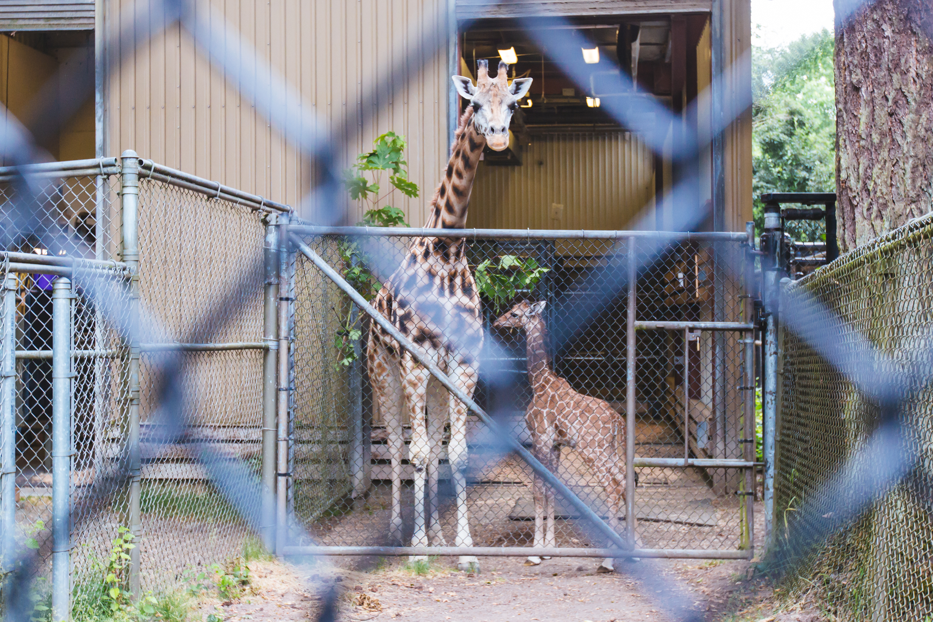 "After one month of life, Woodland Park Zoo's tallest baby finally has a name! Meet Lulu. which means ""pearl"" in Swahili. Donor Al Buckingham won the honor of naming the little one after a generous donation to the zoo at their annual fundraiser, Jungle Party. Lulu is the offspring of 9-year-old mom Tufani and 4-year-old dad Dave; she is the first baby for both parents. Her birth marked the second viable birth of a giraffe at the zoo since 2013 and the third in 20 years. She is now 7 feet tall, and weighs 209 pounds. (Image: Sunita Martini / Seattle Refined)"