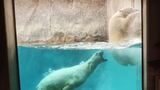 Polar bears caught roughhousing at Utah's Hogle Zoo