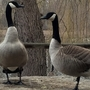 Moldy bread or grain blamed for Canada geese deaths