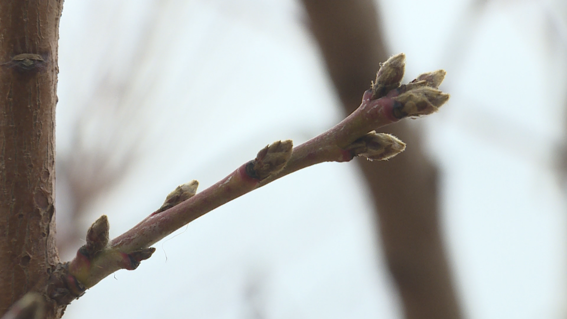 Warmer weather and early buds have orchards worried. (Photo: Ginna Roe / KUTV)