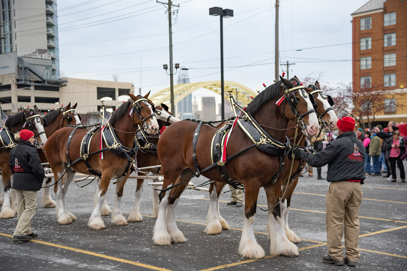 The Budweiser Clydesdales made a rare stop in Bellevue at the Party Source on November 28. / Image: Phil Armstrong, Cincinnati Refined // Published: 11.30.18
