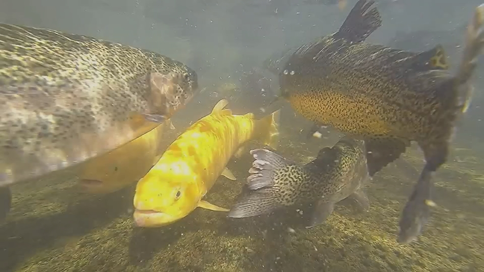Wv wildlife stocking trout in the winter wchs for Wv fish stocking