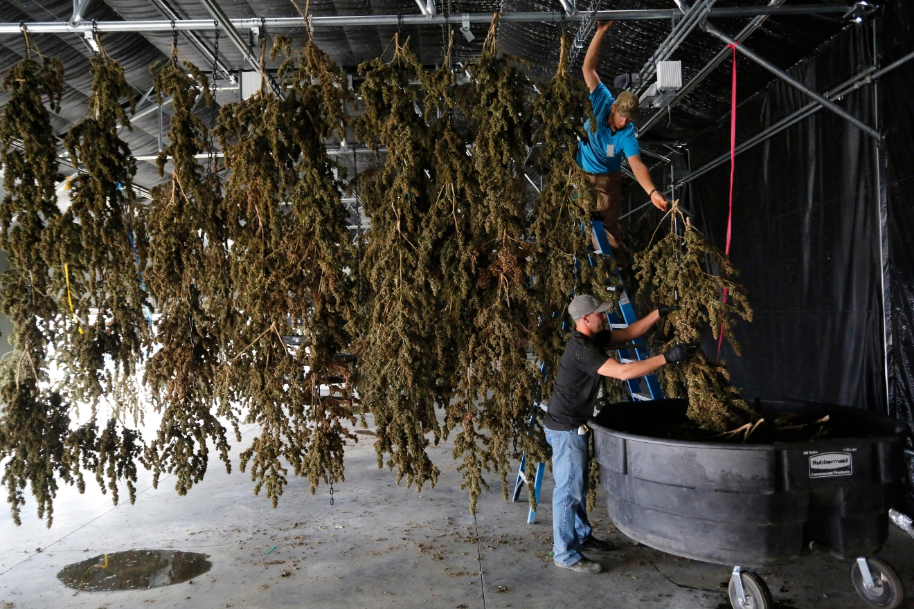 In this Oct. 4, 2016 photo, farmworkers inside a drying barn take down newly-harvested marijuana plants after a drying period, at Los Suenos Farms, America's largest legal open air marijuana farm, in Avondale, southern Colo. During the fall 2016 harvest, the 36-acres at Los Suenos is expected to yield 5 to 6 tons. (AP Photo/Brennan Linsley)