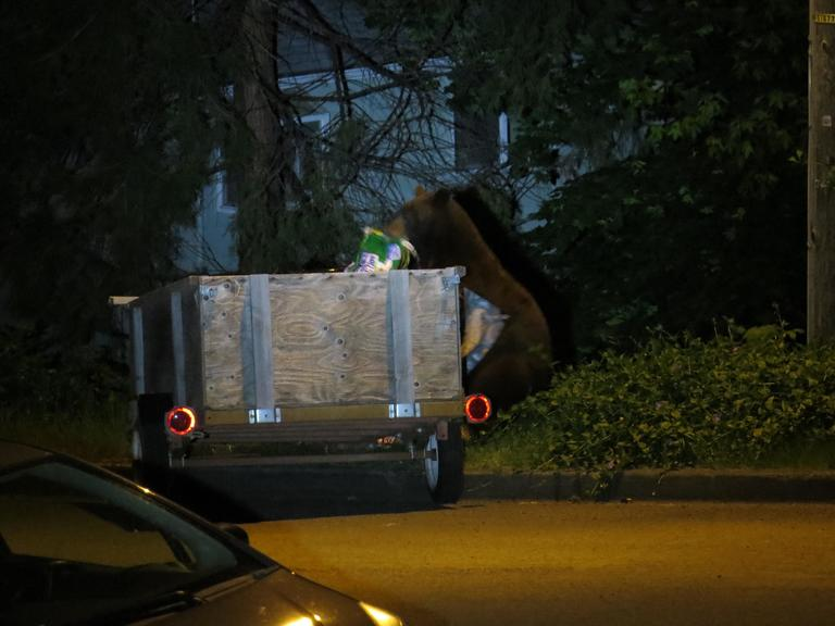"On Tuesday, Sarah Bronson reported, ""The bear just came back. The neighbor brought a trailer full of trash and parked it on the street across from me. … Our girl is treating it like a lunch wagon!"""