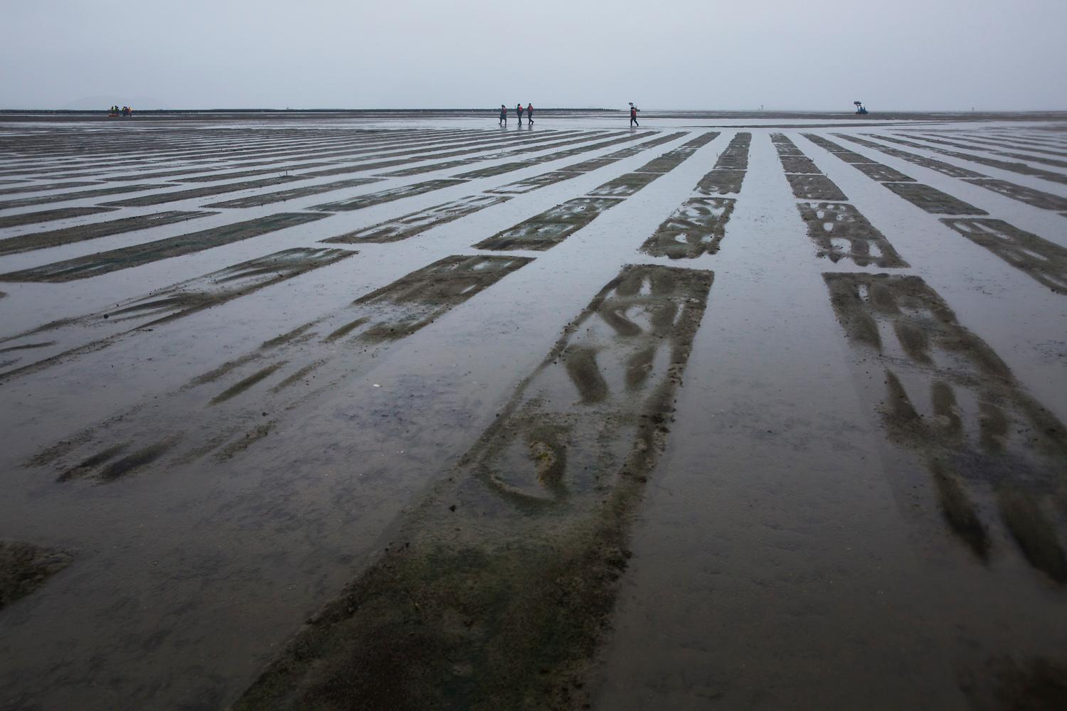Rows of Taylor Shellfish clam tunnels stretch as far as the eye can see in Samish Bay. (Sy Bean / Seattle Refined)