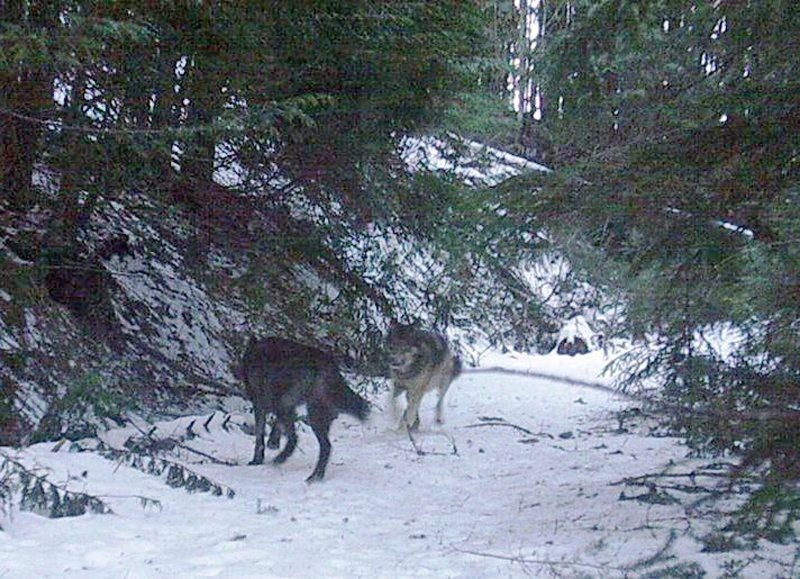This image of a pair of wolves was captured on Dec. 7, 2013, by a trail camera put out in the Boyer Mountain area of Pend Oreille County, Wash., by hikers Scott Stevens and Steve Gilbertson. The photo led Washington wildlife officials to confirm a new wolf pack, which Gilbertson was allowed to name the Carpenter Ridge Pack. Courtesy photo