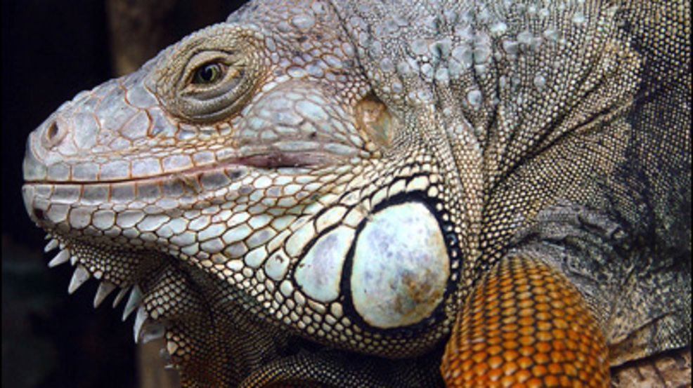 University of Florida researchers bash in heads of invasive iguanas ...