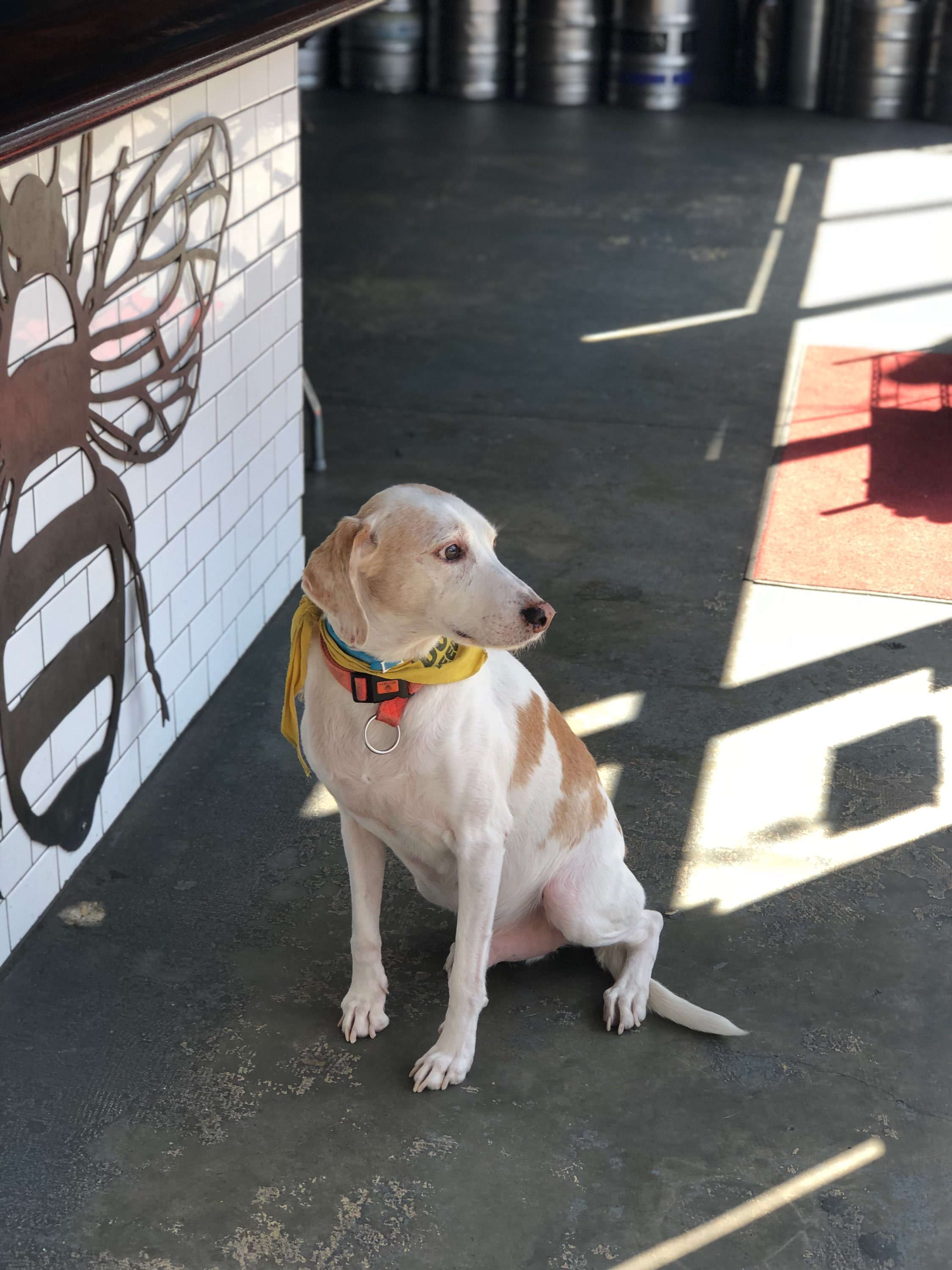 "Andy Pants is The Midlands' ""bar dog."" Stop by to pay him a visit and introduce him to your own pup. (Image: Courtesy Midlands DC)"