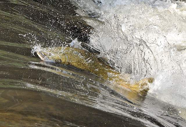 Chinook salmon work their way up Bear Creek in Medford. - Jamie Lusch