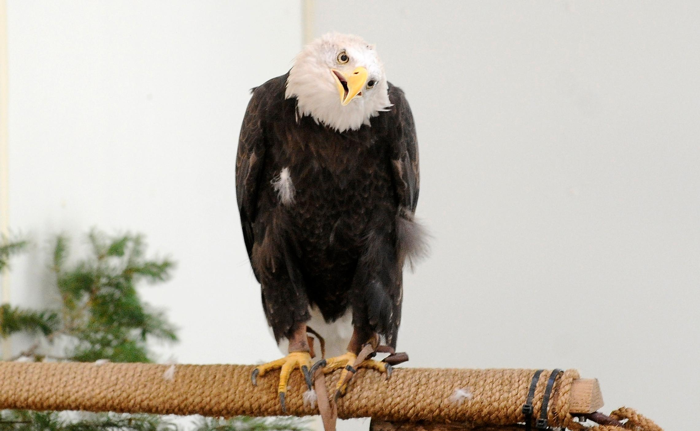 Andy Atkinson / Mail Tribune{ } Defiance the bald eagle at Wildlife Images.